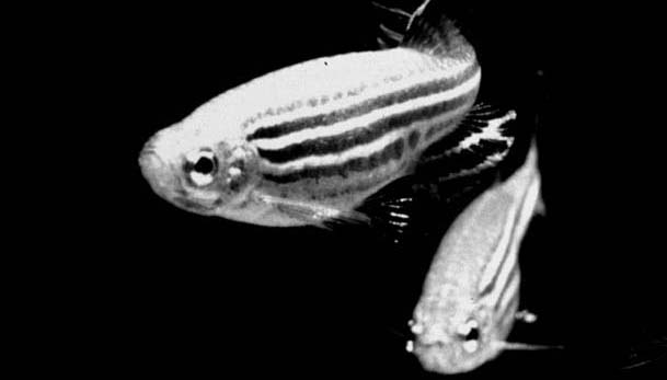 zebrafish1_head (1)